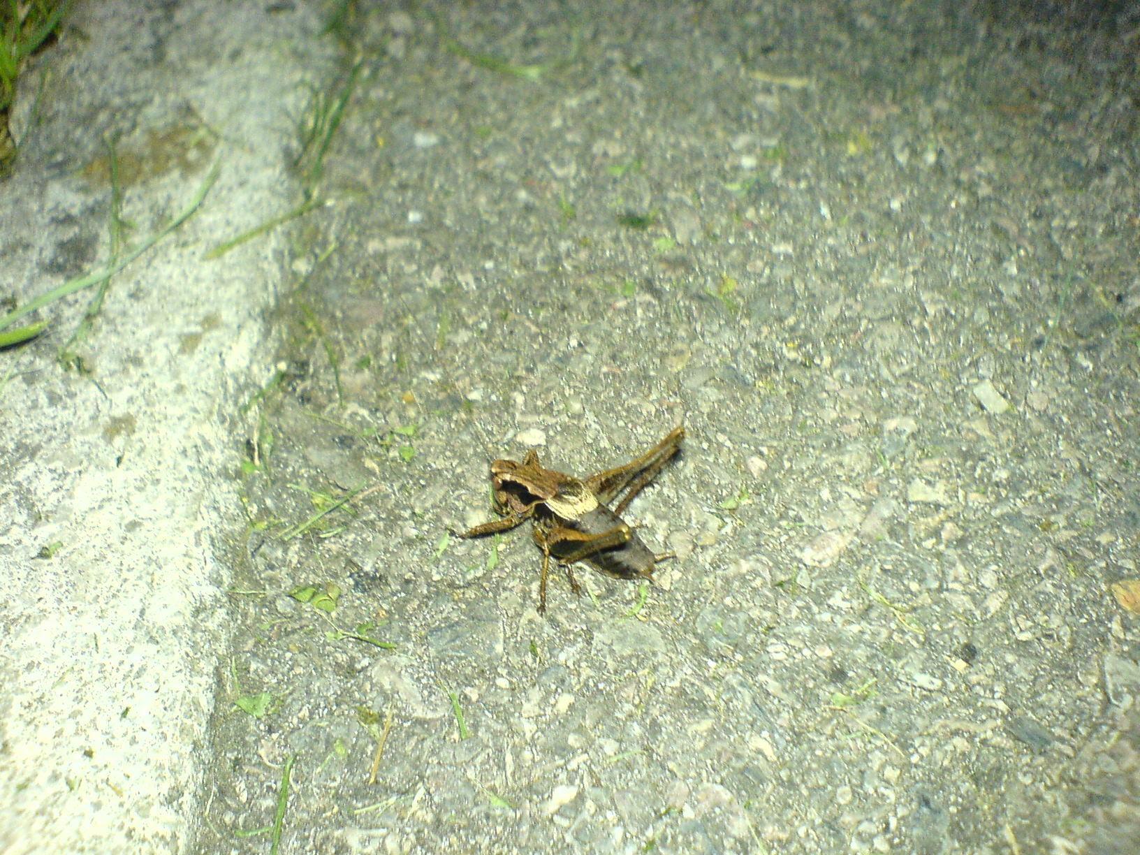 Image of dark bush-cricket