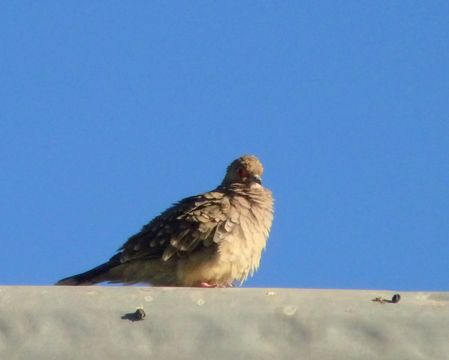 Image of Bare-faced Ground Dove