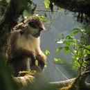 Image of Pennant's red colobus