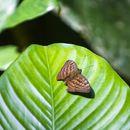 Image of <i>Bebearia mandinga</i>