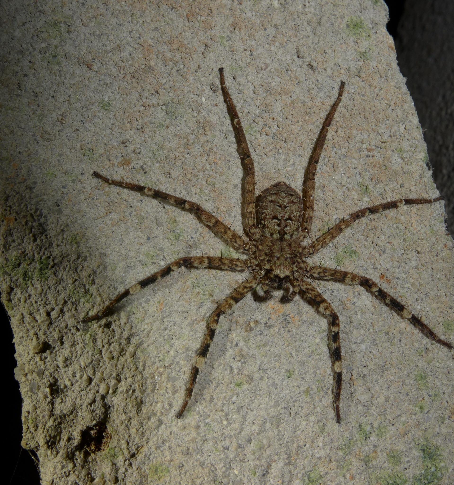 Image of <i>Selenops radiatus</i> Latreille 1819