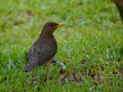 Image of African Thrush
