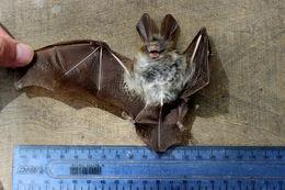 Image of Large-eared Slit-faced Bat