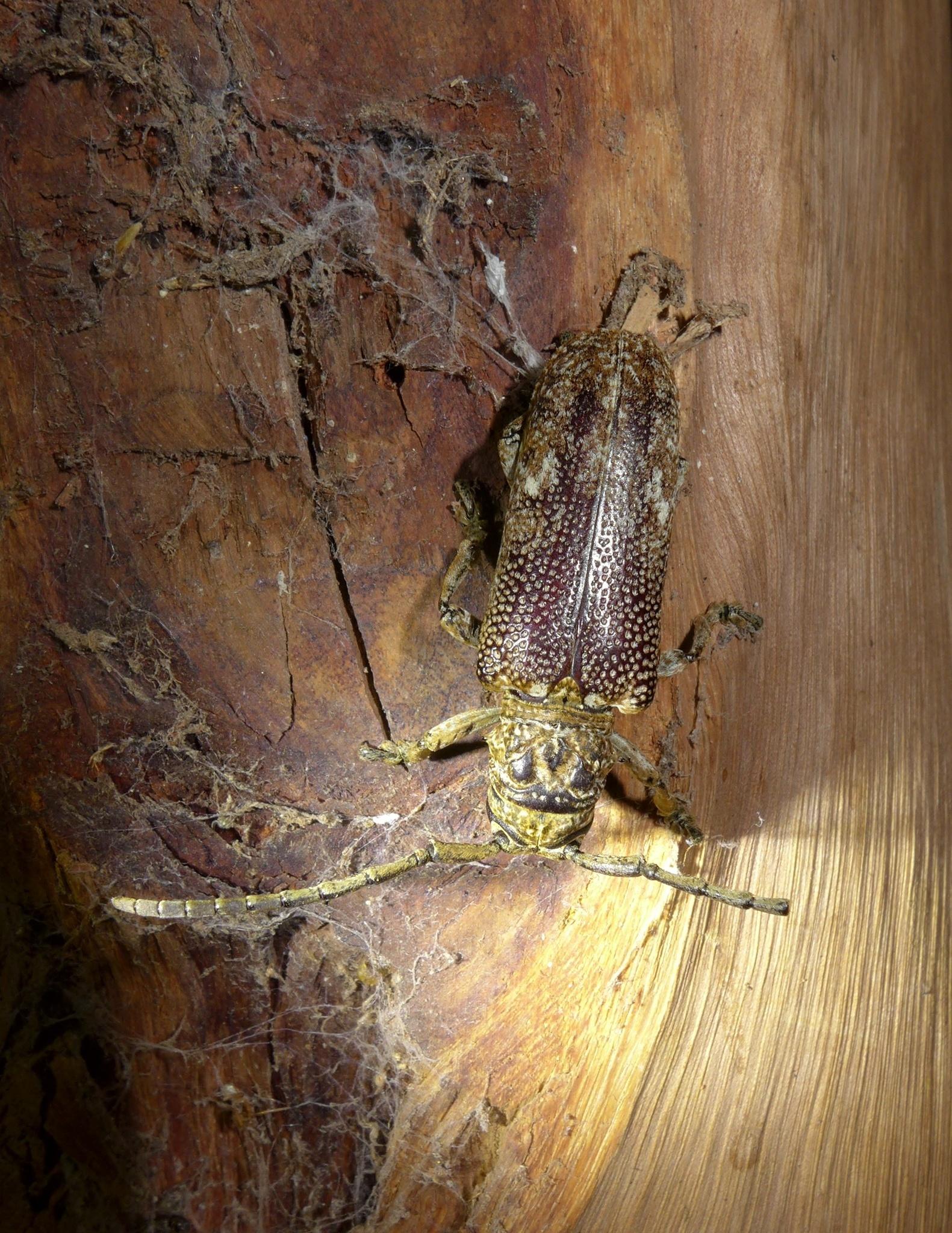 Image of <i>Homelix cribratipennis</i> Thomson 1858