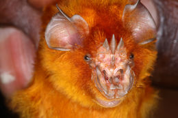 Image of African Trident Bat