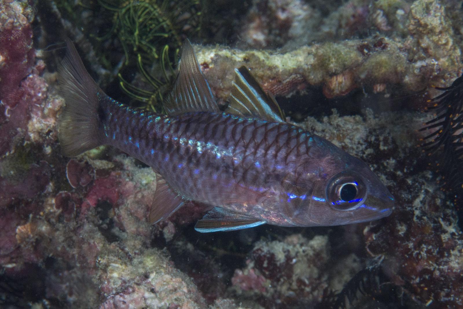 Image of Narrowstripe cardinalfish