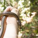 Image of Orangebelly Swamp Snake