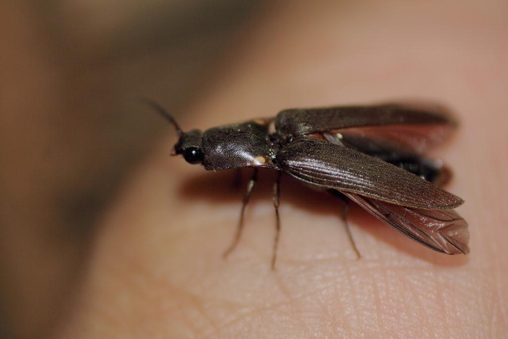 Image of <i>Pyrophorus mexicanus</i>
