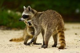 Image of Cozumel Island Raccoon