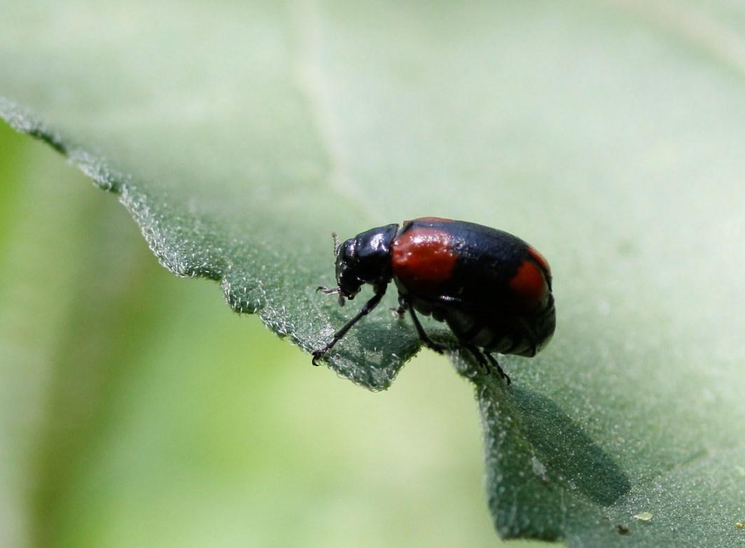 Image of <i>Babia</i> (<i>Archaebabia</i>) <i>tetraspilota</i> J. L. Le Conte 1858