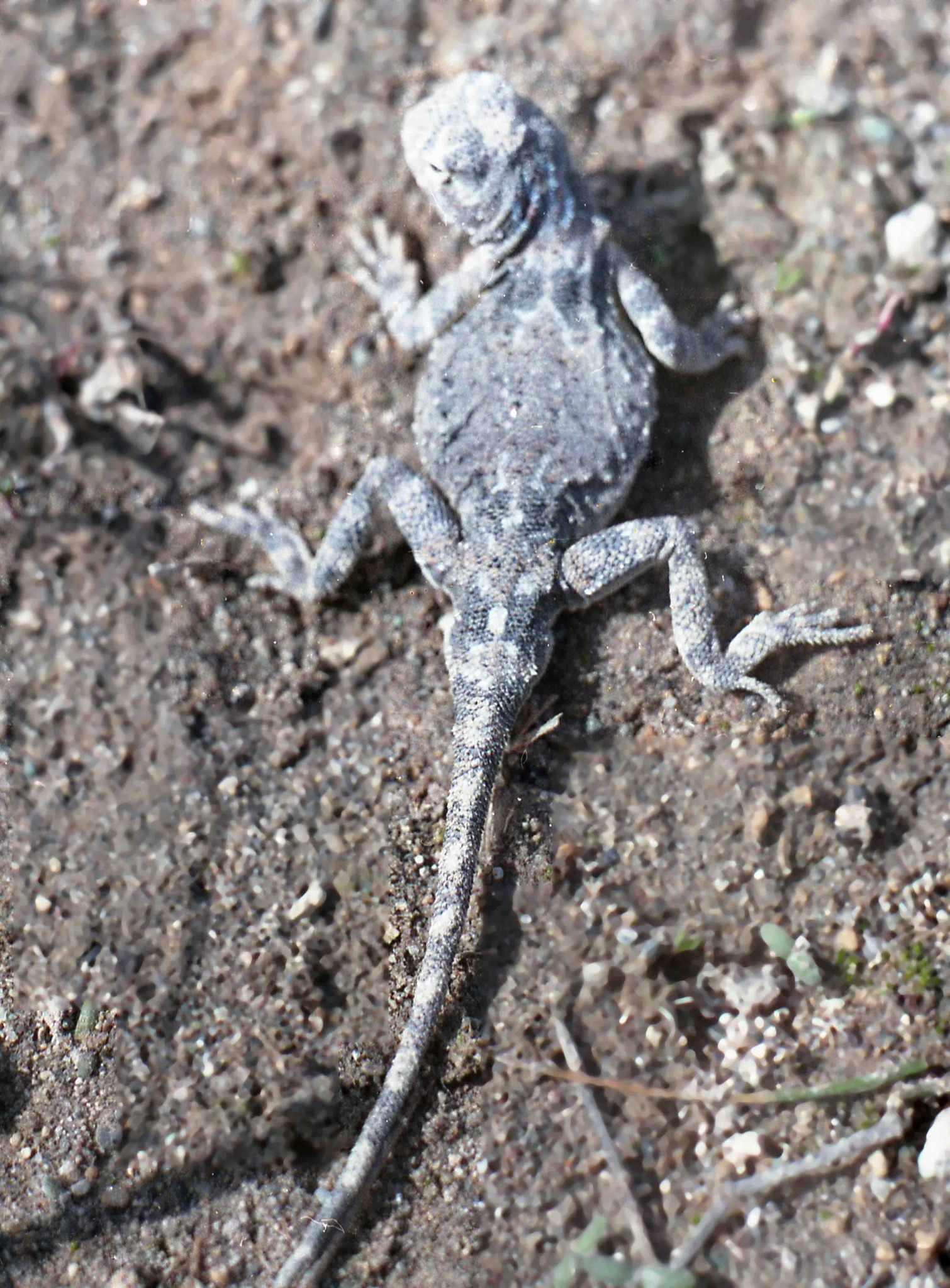 Image of Persian Toad Agame
