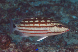 Image of Checkered Seaperch