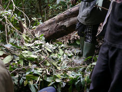 Image of Cross River Gorilla