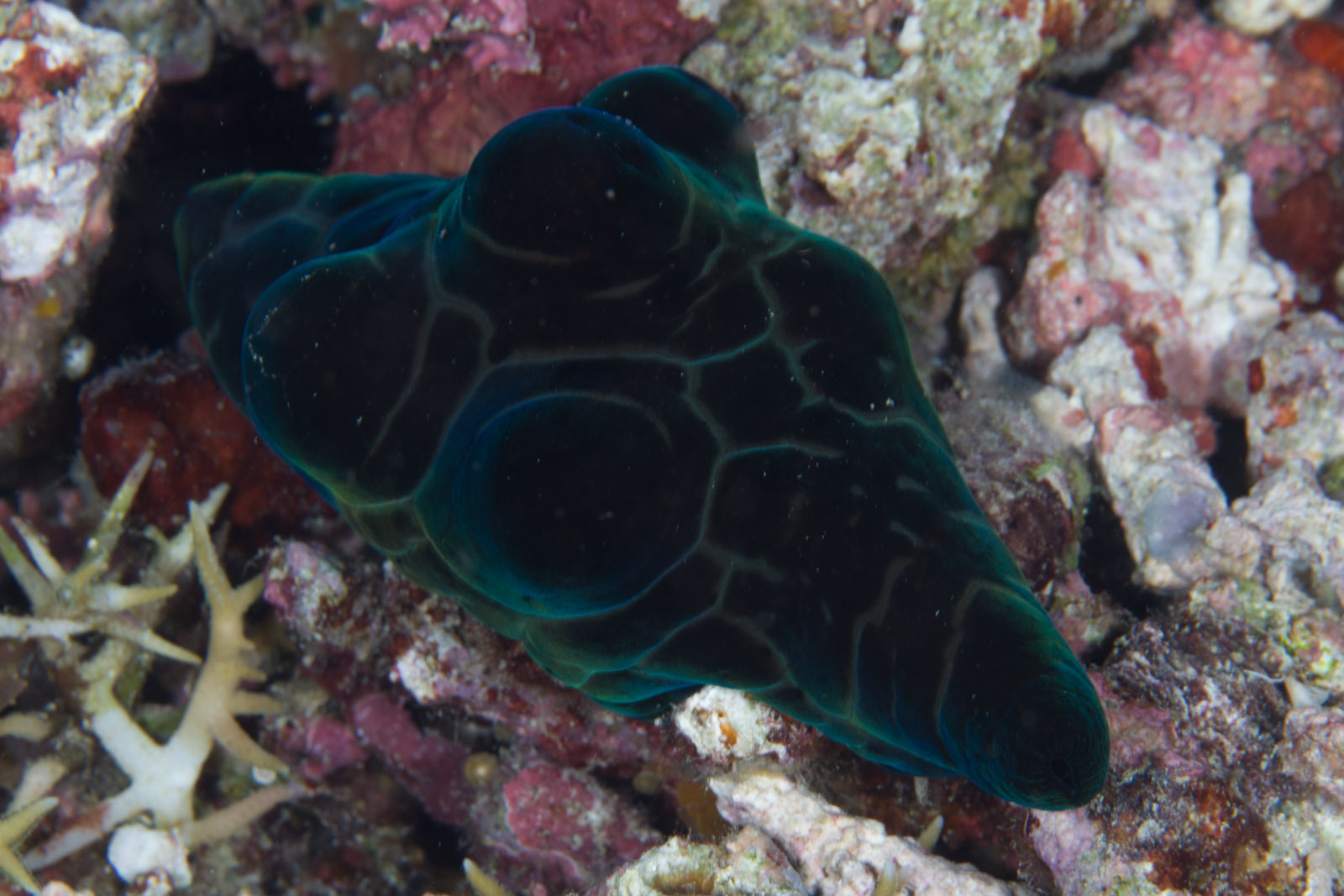 Image of velutin snail