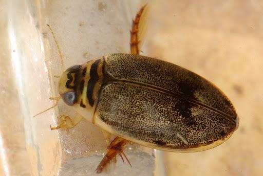 Image of <i>Thermonectus nigrofasciatus</i> (Aubé 1838)