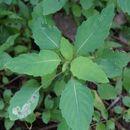 Image of Jewelweed Leafminer
