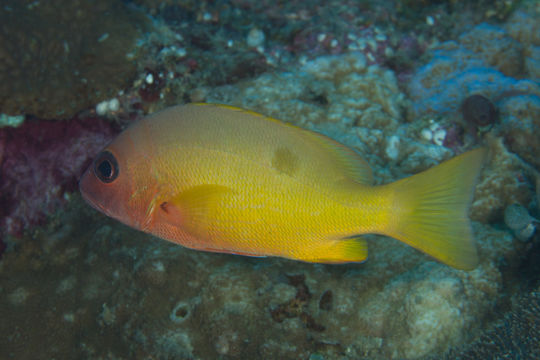 Image of Button snapper