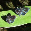 Image of <i>Pilodeudorix mimeta</i>