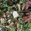 Image of <i>Pseudopontia mabira</i>