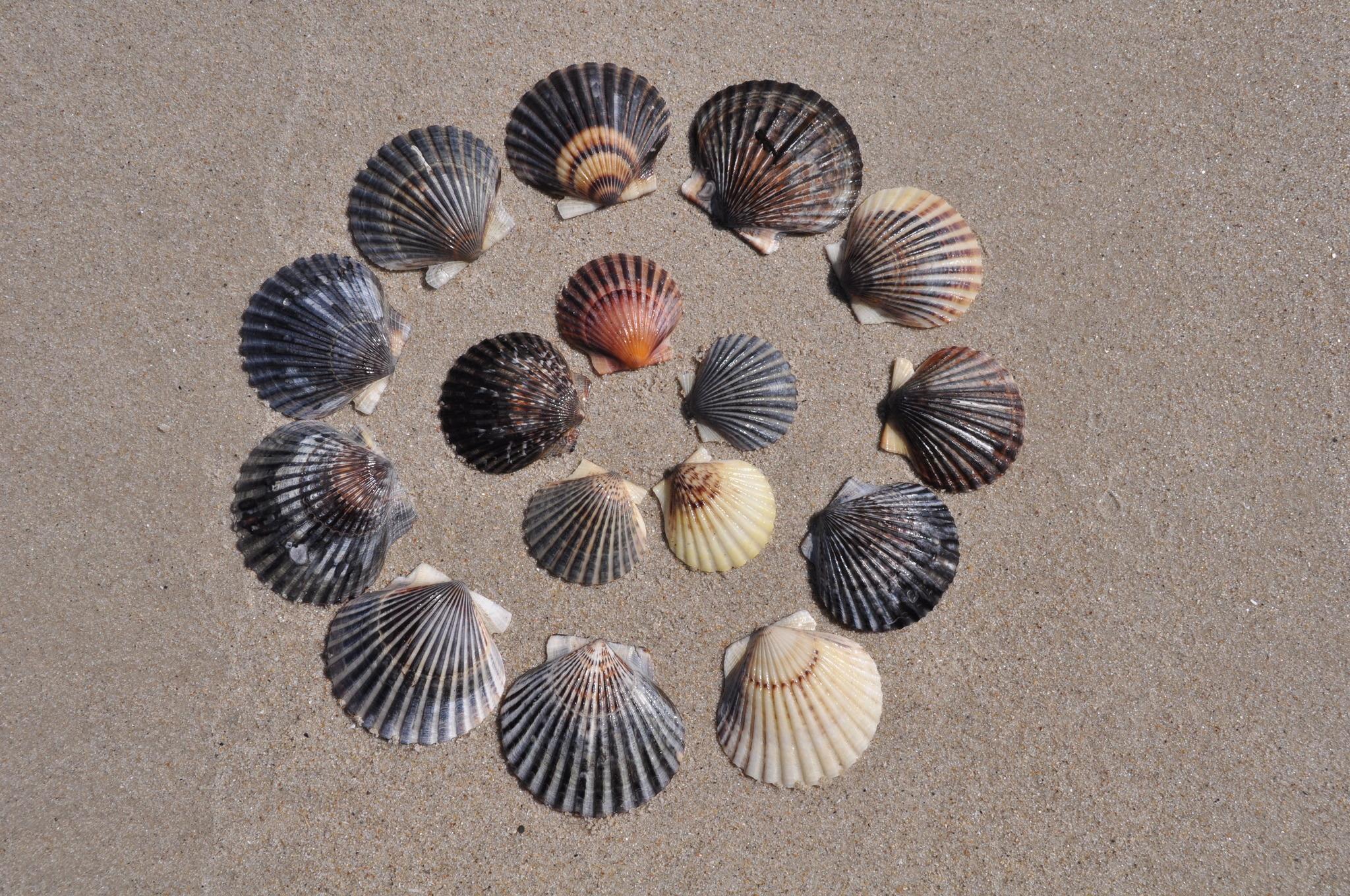 Image of Common scallop