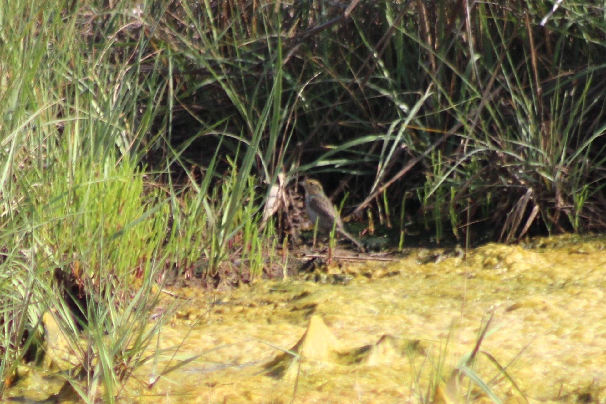 Image of saltmarsh sparrow