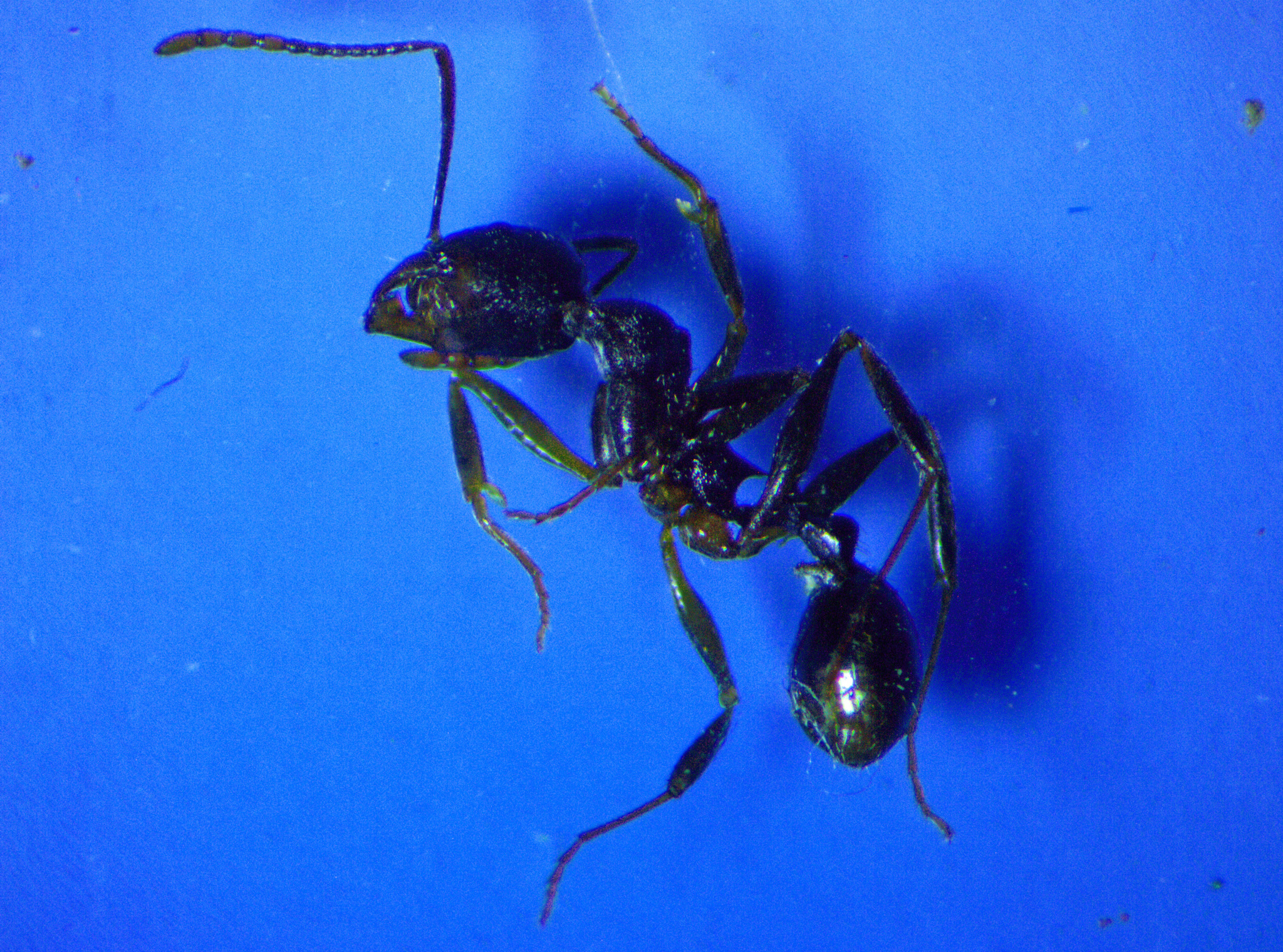 Image of <i>Aphaenogaster picea</i> (Wheeler 1908)