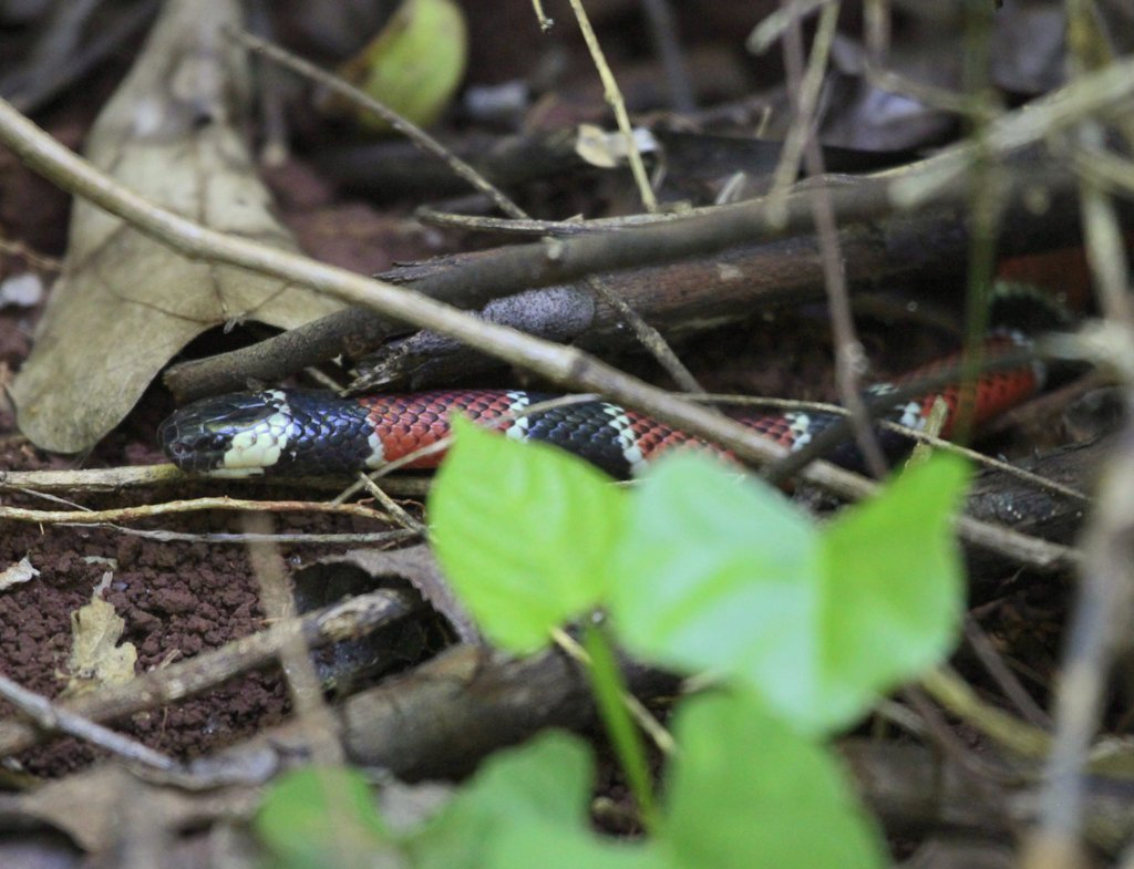 Image of Painted Coral Snake