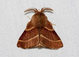 Image of <i>Malacosoma californica</i> Packard 1864
