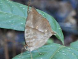 Image of <i>Zeuxidia amethystus</i>