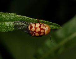 Image of <i>Cryptocephalus guttulatus</i> Olivier 1808