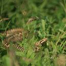 Image of Caucasus Subalpine Viper