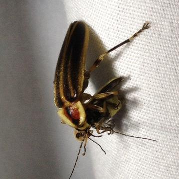 Image of Pennsylvania Firefly