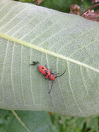 Image of Red Milkweed Beetle
