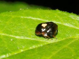 Image of <i>Clastoptera funesta</i> Stal 1854