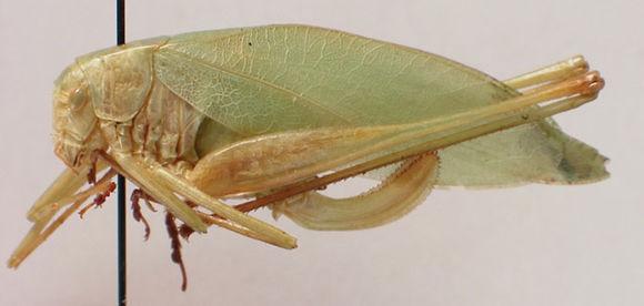 Image of Clicker Round-winged Katydid