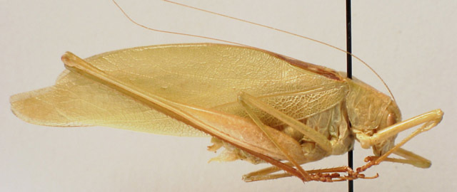 Image of Clicker Round-winged Katydid