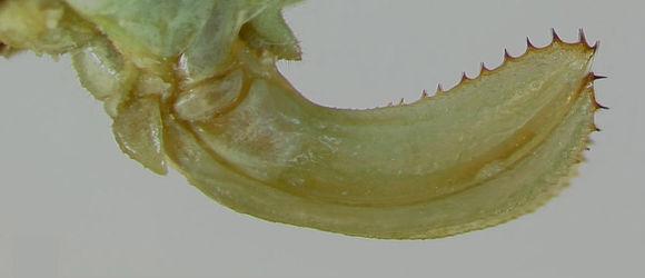 Image of Rio Grande Virtuoso Katydid