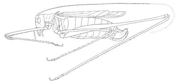 Image of Spider-tail Thread-legged Katydid