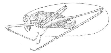Image of Short-tailed Thread-legged Katydid