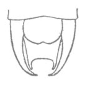 Image of Short-tailed Thread-legged Katydid