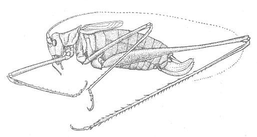 Image of Carita Thread-legged Katydid