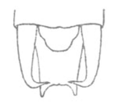 Image of Stilt-walker Katydid