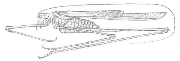 Image of Rio Grande Thread-legged Katydid