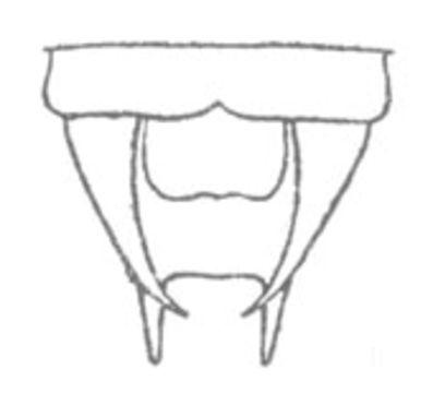 Image of Sellate Thread-legged Katydid