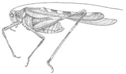 Image of Creosote Bush Katydid