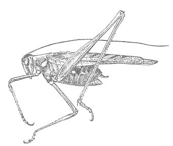 Image of Gemmate Bush Katydid