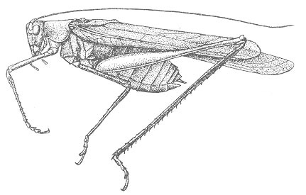 Image of Elegant Bush Katydid