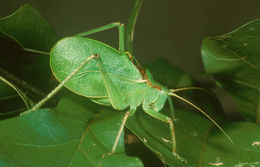 Image of Truncated True Katydid