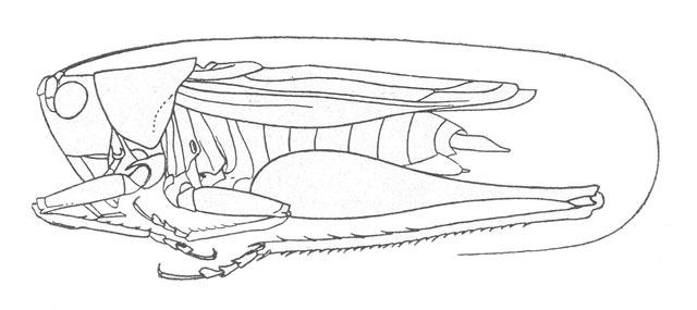 Image of Arizona Meadow Katydid