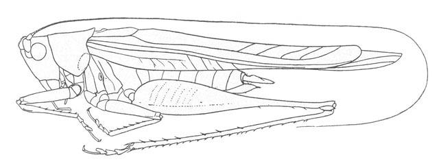 Image of Bradley's Meadow Katydid